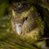 Fans Flock to See Famous Kakapo